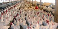 BROILER FARMING IN NIGERIA: GUIDE ON HOW TO START BROILER FARMING