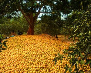 How to Start Commercial Orange Farming Business In Nigeria