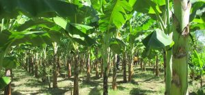 Plantain Farming - How to Start a Plantain Business in Nigeria